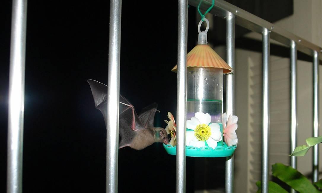 Morcego usa bebedouro de passarinhos para beber água Foto: Divulgação