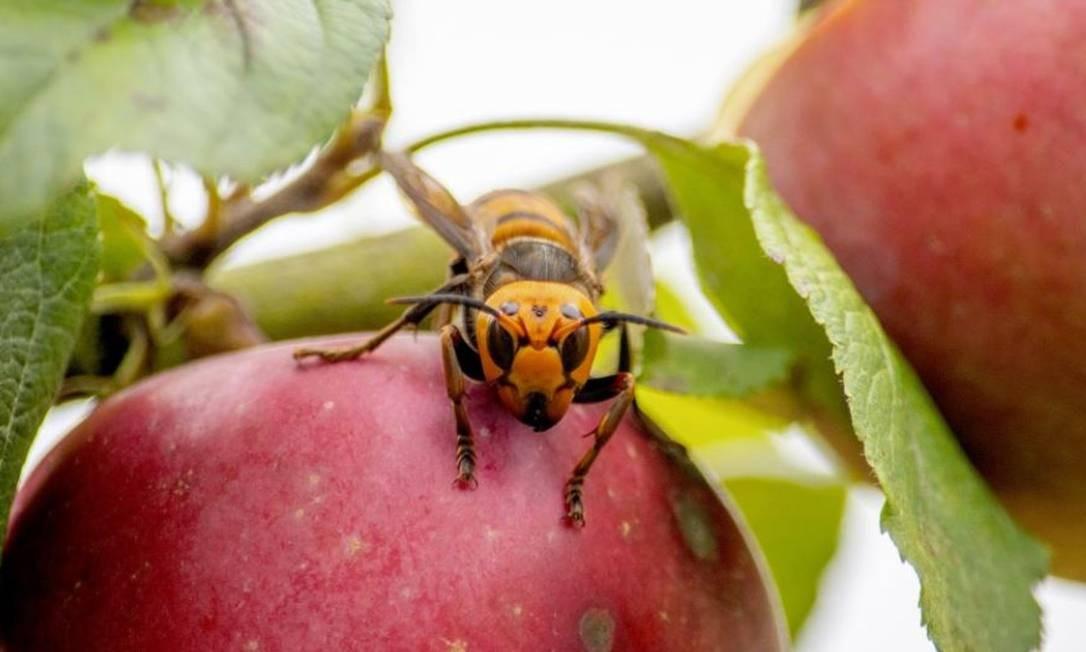 Ninho de 'vespas assassinas' pode ter sido o primeiro encontrado nos EUA Foto: Karla Salp/Washington State Department of Agriculture