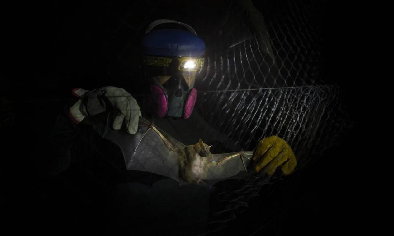 Morcegos são capturados por telas instaladas no mato, no Campus Fiocruz, Mata Atlântica, em Jacarepaguá. Cobertos da cabeça aos pés por EPIs, cientistas da Fiocruz buscam animais que possam conter vírus com potencial de causar pandemias Foto: Márcia Foletto / Agência O Globo