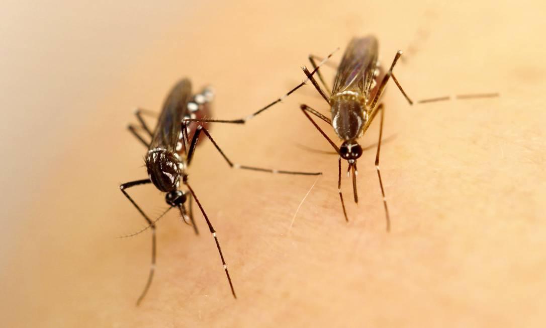 Lado a lado, fêmeas de mosquito Aedes aegypti da variedade latinoamericana (esq) e africana, de tom mais claro Foto: G. Murray/B. Daures/L. Lambrechts