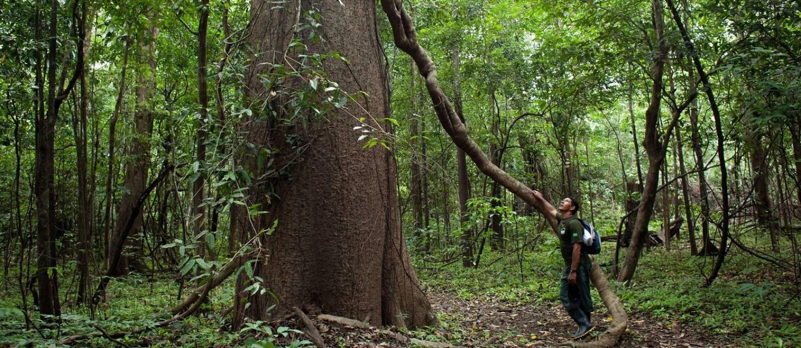 Guia da pousada Uacari, do Instituto Mamirauá, aos pés de uma árvore gigante em plena floresta amazônica Foto: Rafael Forte / Divulgação