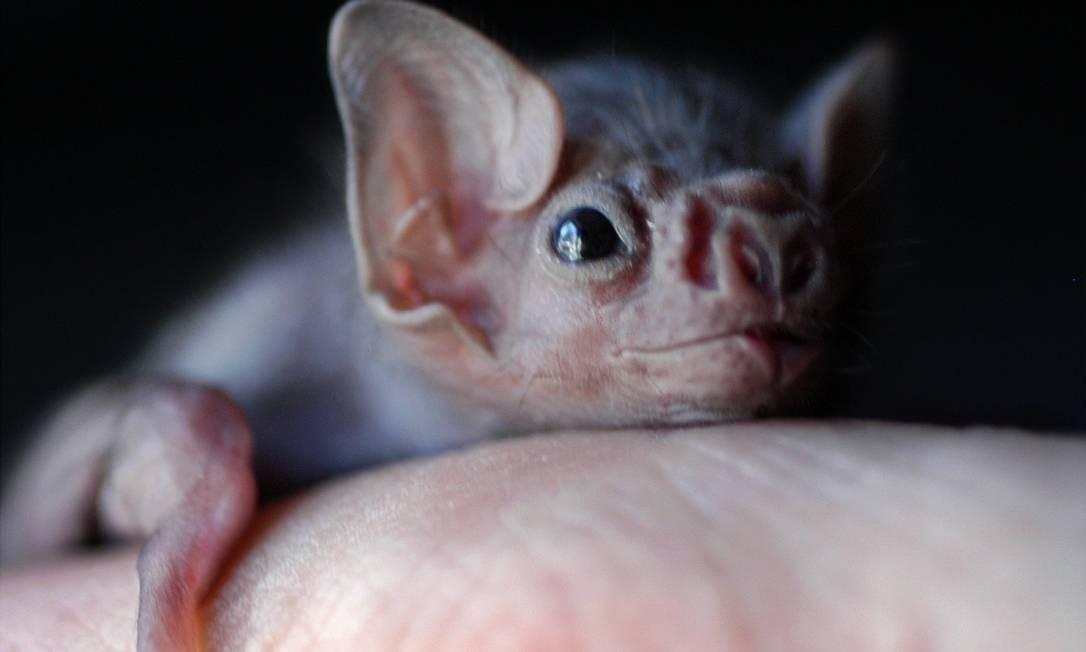 Acredita-se que o reservatório natural do Sars-CoV-2 sejam os morcegos Foto: Jake Schoellkopf/APPPhoto / Jake Schoellkopf/APPPhoto