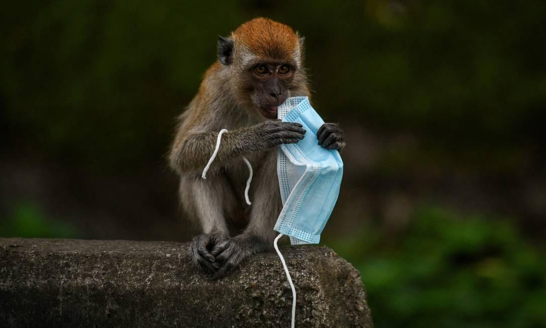 Macaco macaque brincando com uma máscara, em Genting Sempah, no estado de Pahang, na Malásia. O aumento do uso de equipamento de proteção durante a pandemia de coronavírus lançou uma nova e potente ameaça à vida selvagem, devido ao descarte indevido Foto: MOHD RASFAN / AFP
