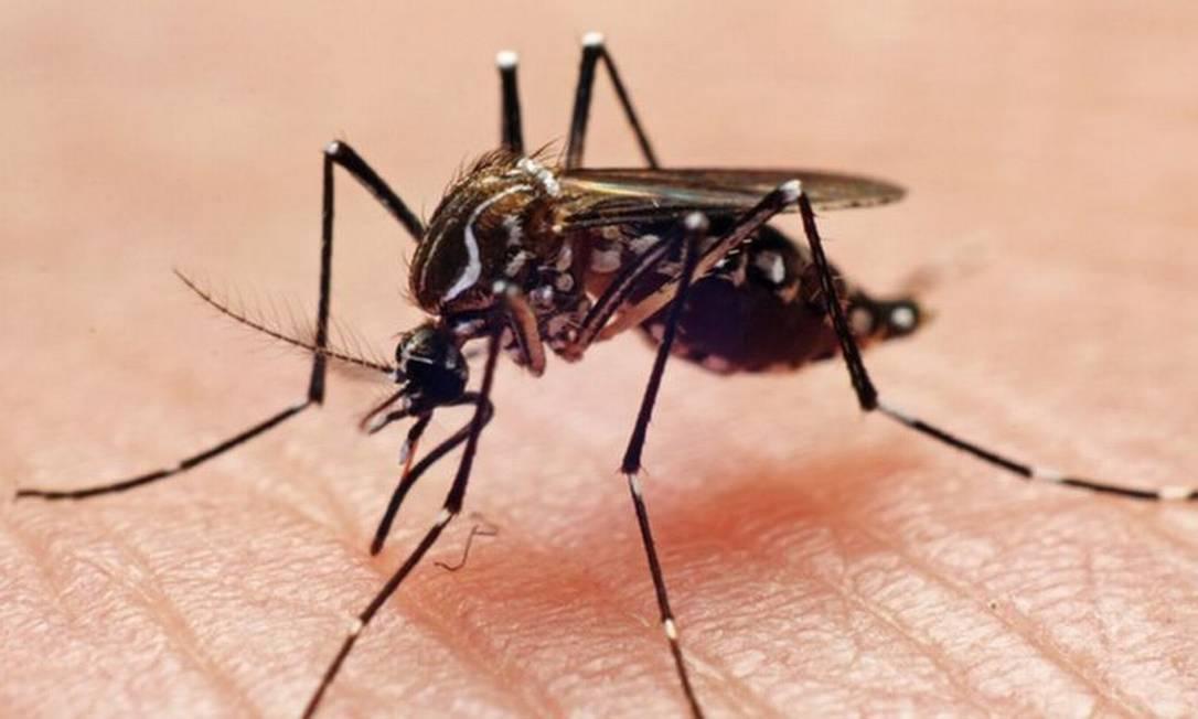 O mosquito Aedes aegypti é o principal transmissor de dengue, zika e chikungunya em regiões urbanas do Brasil Foto: JOAO PAULO BURINI/GETTY IMAGES