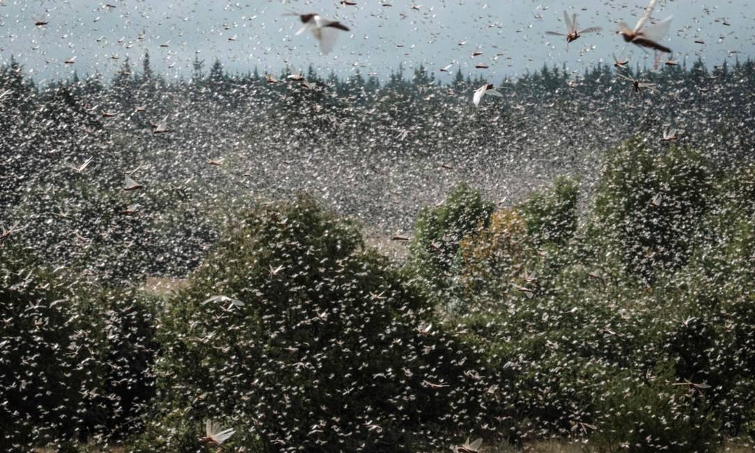 Antes de enviar equipes para áreas específicas para pulverizar os insetos com pesticidas para evitar danos para plantações e áreas de pastagem. Foto: YASUYOSHI CHIBA / AFP