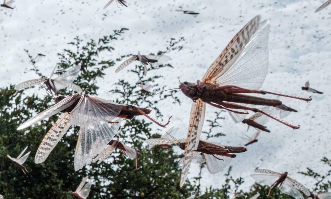 Enxame de gafanhotos do deserto volta a acontecer depois de pouco mais de um ano Foto: YASUYOSHI CHIBA / AFP