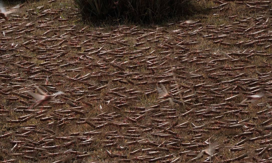 Chão coberto com gafanhotos do desertos depois de aeronave aplicar pesticida Foto: YASUYOSHI CHIBA / AFP