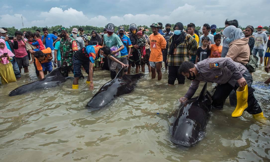 Pessoas tentam salvar baleias-piloto na, ilha de Madura Foto: JUNI KRISWANTO / AFP