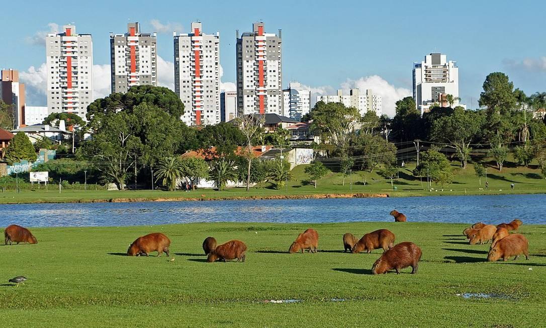 Capivaras no Parque Barigui Foto: CC
