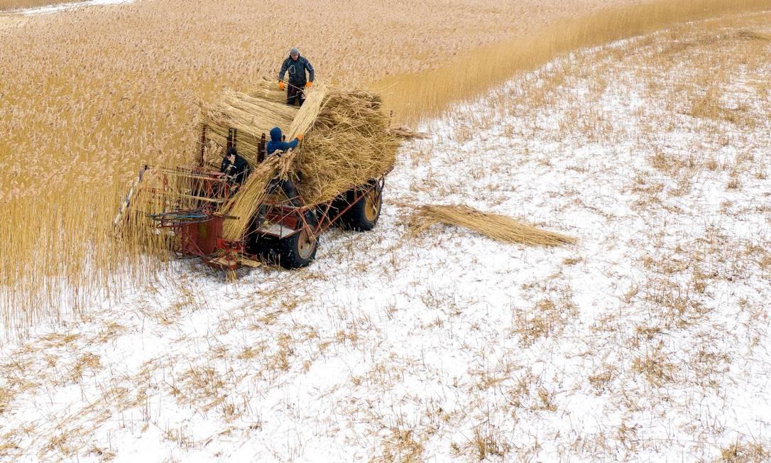 Trabalhadores de campo cortando junco em The Vistula Spit perto da vila de Jagodno, perto de Elblag, norte da Polônia. O junco é cortado no inverno com uma colhedora especial durante as geadas. Após o processamento, é usado para coberturas na Polônia, Dinamarca, Holanda e Alemanha. Os telhados de junco são famosos por sua durabilidade e isolamento térmico Foto: MATEUSZ SLODKOWSKI / AFP