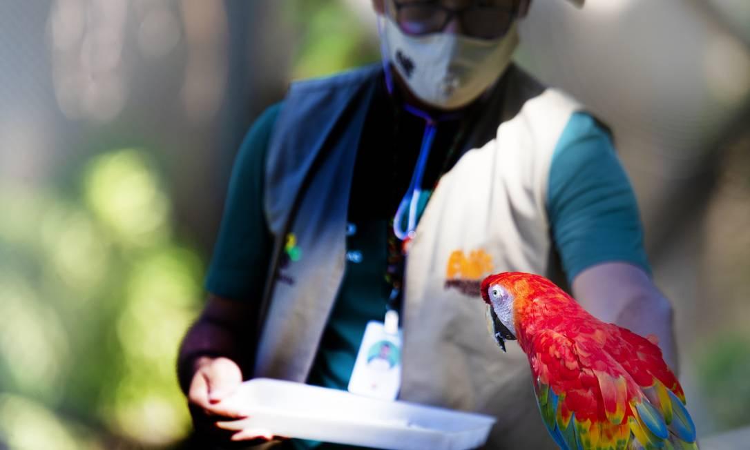 Tratador alimenta arara no BioParque, na Quinta da Boa Vista Foto: Antonio Scorza / Agência O Globo