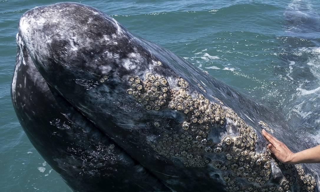 En pequeñas embarcaciones, turistas llegan cerca de las ballenas grises en la Laguna de Ojo de Libre en Guerrero Negro, Baja California, México Foto: Guillermo Arias / AFP
