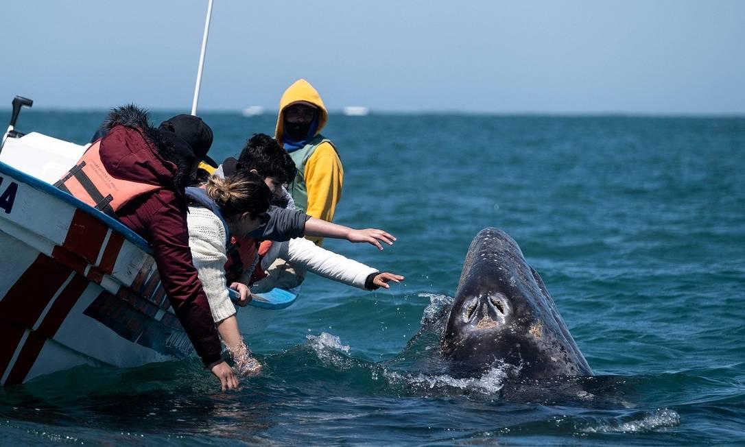 Em pequenos barcos, turistas chegam perto de baleias-cinzentas na Laguna de Ojo de Libre, em Guerrero Negro, no estado mexicano da Baja California Sur Foto: GUILLERMO ARIAS / AFP