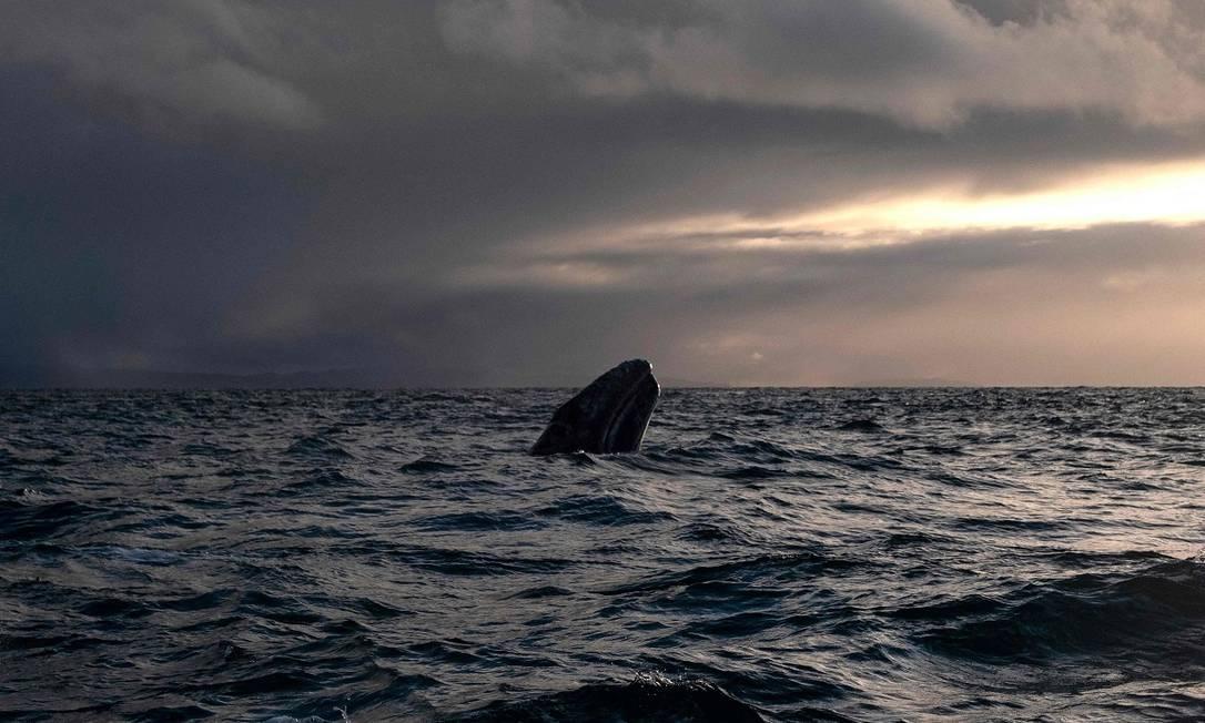 Reserva ecológica clasificada como Patrimonio de la Humanidad por la UNESCO, el Santuario de Ballenas Grises El Wiscino se encuentra en la Península de Baja California, donde miles de ballenas grises migran desde Alaska cada año para reproducirse.  Foto: Guillermo Arias / AFP