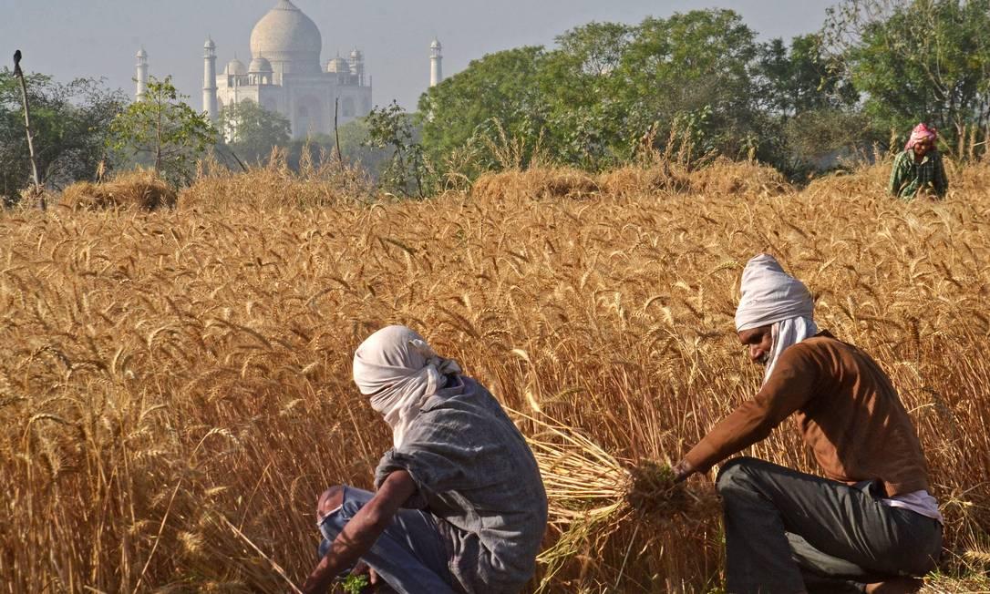 Agricultores colhem uma safra de trigo tendo ao fundo o Taj Mahal, em Agra, na Índia Foto: PAWAN SHARMA / AFP