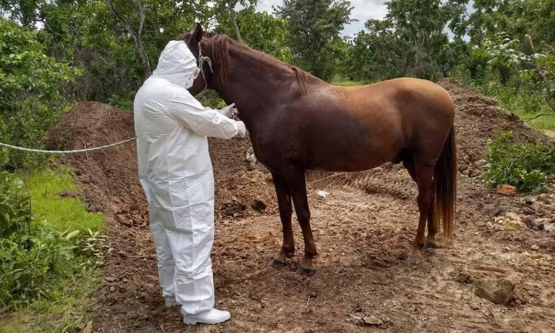 Defesa agropecuária do TO coleta material para teste em cavalo Foto: Divulgação