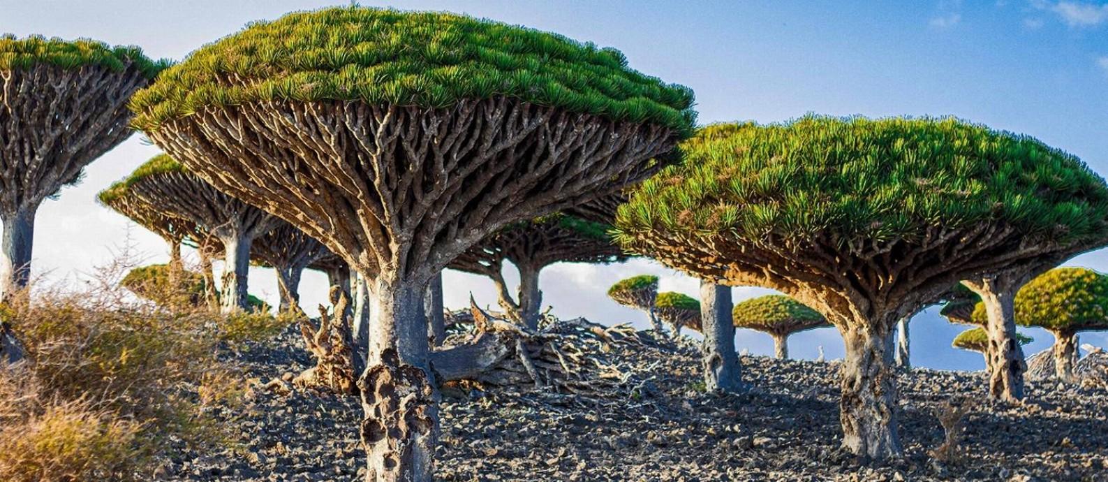 As inconfundíveis árvores Sangue de Dragão (Dracaena cinnabari) são nativas da Ilha de Socotra, do Iêmen, no Oceano Índico Foto: - / AFP