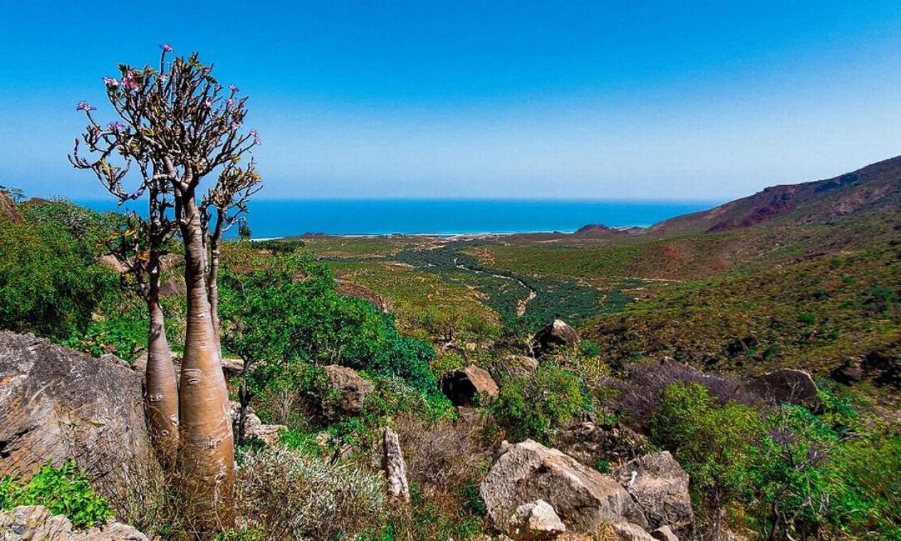 Uma árvore Rosa-do-Deserto (Adenium socotranum) que cresceu no alto da montanha Di-Hamri, na Ilha de Socotra, no Iêmen Foto: - / AFP