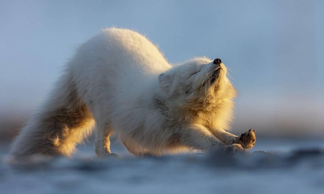 Felix Belloin registrou uma raposa-do-ártico se espreguiçan no isolado arquipélago norueguês de Svalbard, no extremo norte do globo, e venceu a categoria dedicada à vida selvagem do Capture The Extreme 2021 Foto: Felix Belloin / Shackleton/Divulgação