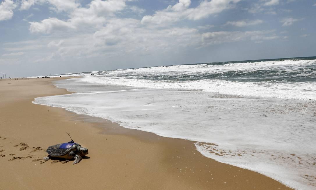 Uma tartaruga marinha equipada com um rastreador GPS é devolvida ao Mar Mediterrâneo na praia de Nitzanim, perto da cidade israelense de Ashkelon Foto: GIL COHEN-MAGEN / AFP