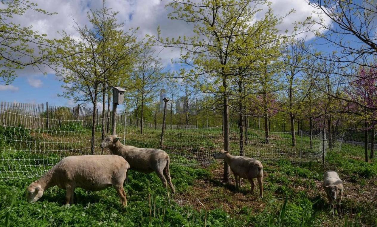 Mas, antes dos visitantes chegarem, a ilha era todinha de cinco ovelhas, levadas para lá para ajudar a aparar a grama Foto: ANGELA WEISS / AFP