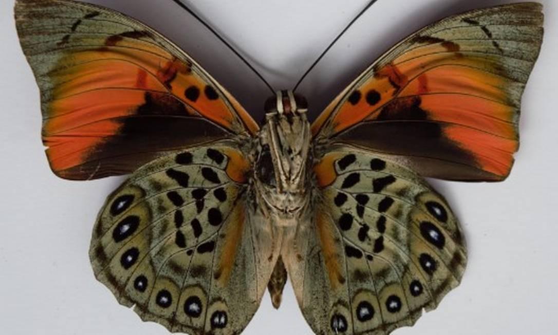 A 'Prepona narcissus': espécie rara em área de pesquisas no Amazonas Foto: Ricardo Luís Spaniol