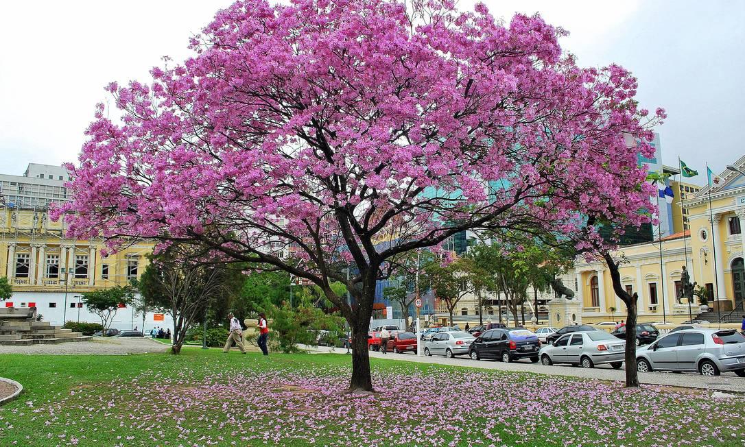 Exuberante no inverno. Cidade já tem mapeados cerca de 1.500 ipês, como este exemplar rosa da Praça da República, no Centro Foto: Vinícius Martins / Divulgação/Vinícius Martins