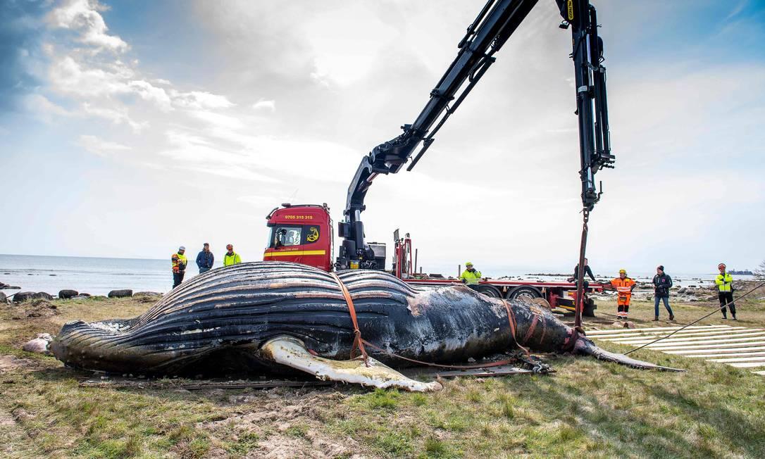 Baleia jubarte encalhada na Suécia é retirada da água e transportada para incineração Foto: SUVAD MRKONJIC / AFP