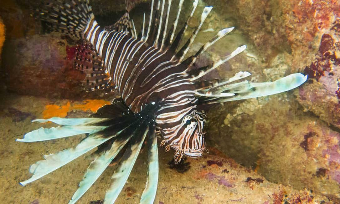 Estilo de caça único e reprodução constante, além da falta de predadores naturais, ajudam a veloz proliferação do peixe-leão no Oceano Atlântico Foto: Academia de Ciências da Califórnia