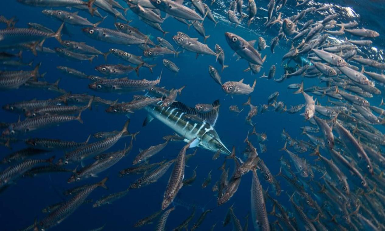 Com essa foto de um cardume de sardinhas fugind de um marlim, o italiano Jacopo Brunetti foi um dos finalistas na categoria O Oceano: Vida e Meios de Subsistência Foto: Jacopo Brunetti / Divulgação