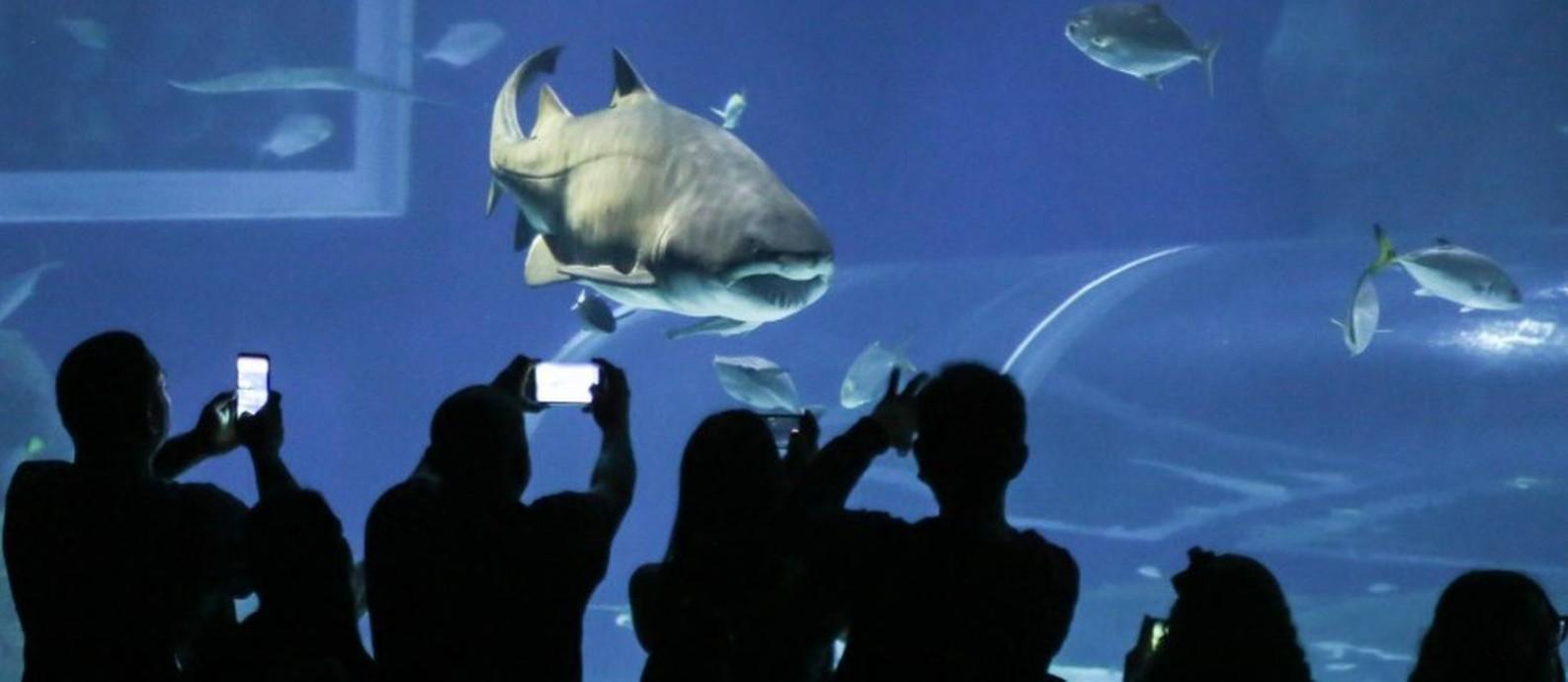 Morre o tubarão-fêmea Margarida, o primeiro e mais famoso do AquaRio Foto: Fernando Maia / Divulgação