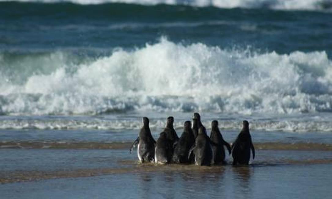 Temporada de pinguins no litoral brasileiro vai até outubro Foto: Divulgação/Comunicação Bacia de Santos
