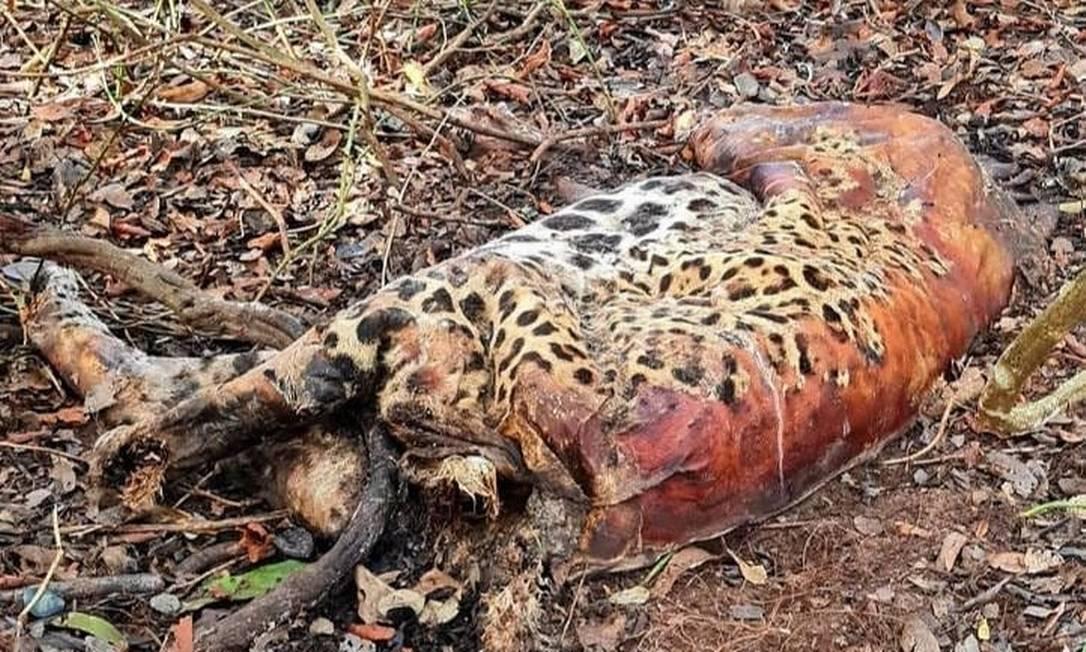 Onça-pintada encontrada morta no Pantanal Foto: Reprodução/Redes sociais