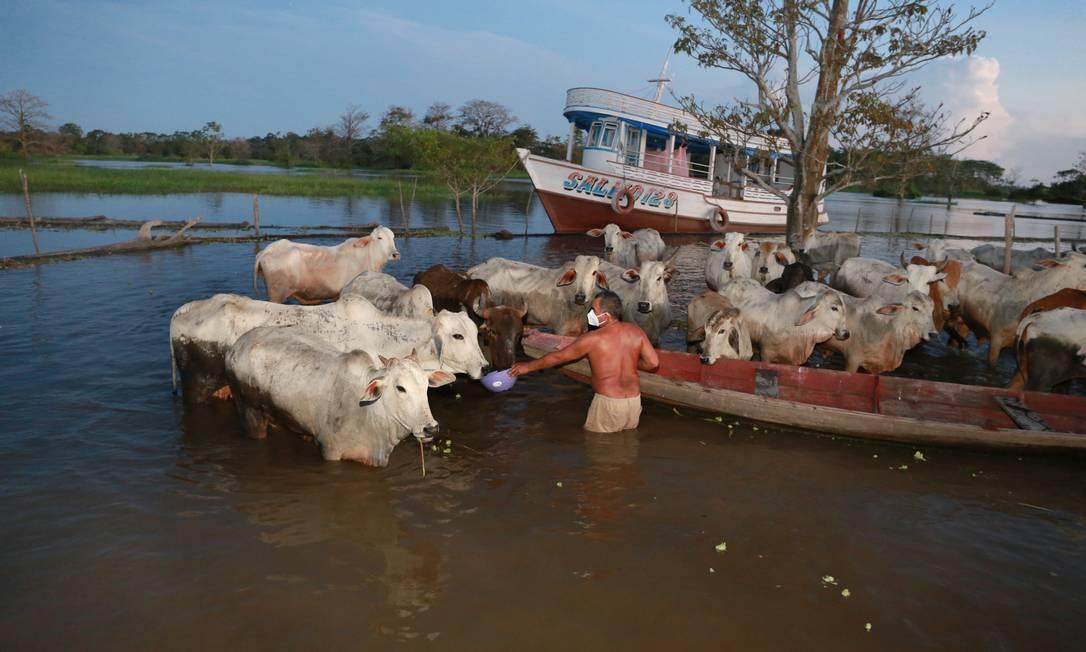 Raimundo Pinto Fleuri, agricoltore della comunità e di São Sebastião, a Manacaburo, si occupa del bestiame in un pascolo allagato.Foto: Euzivaldo Queiroz / Agência O Globo