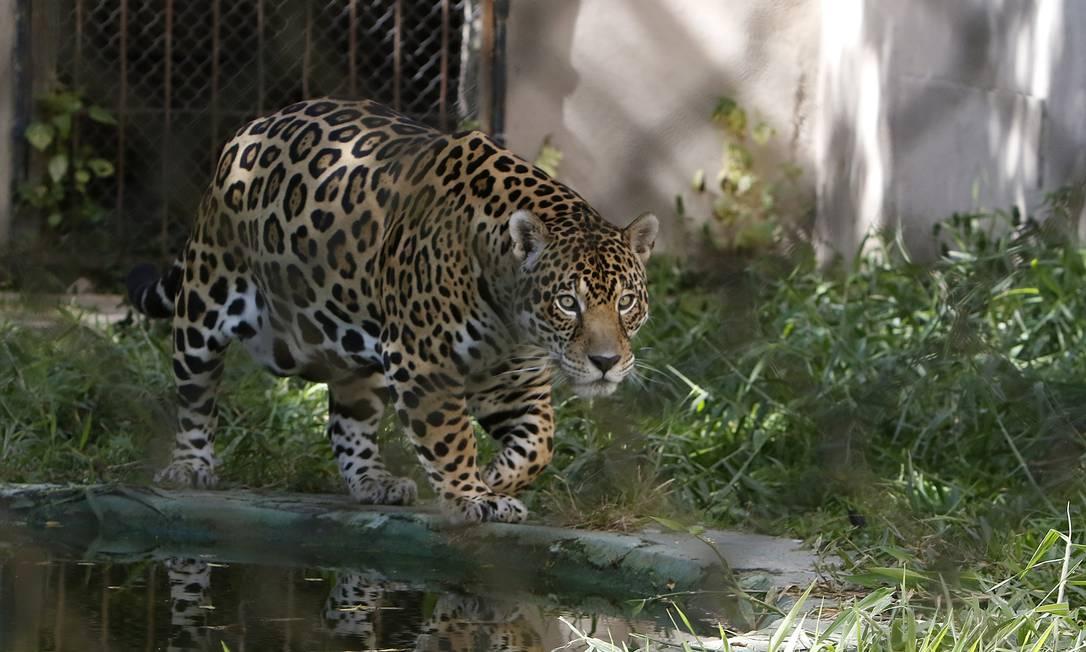 A imunização no Oakland Zoo teve início com ursos, leões da montanha, tigres e furões Foto: Reginaldo Pimenta / Agência O Globo