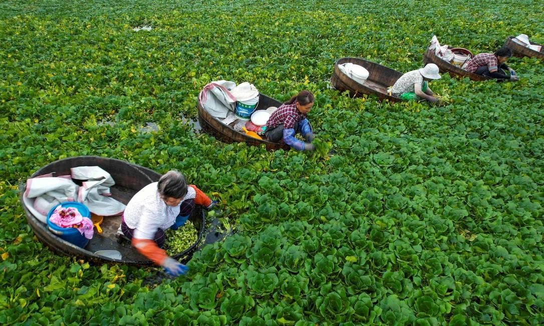 Agricultores pegam castanhas-d'água em um lago em Taizhou, na província de Jiangsu, no leste da China Foto: STR / AFP