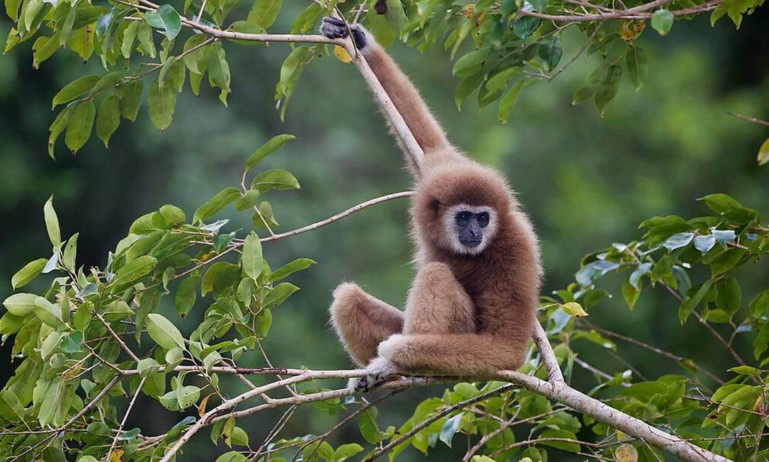 Infecção pelo vírus do macaco B ou herpes B transmitido é raro Foto: Wikipedia / Creative Commons / Reprodução
