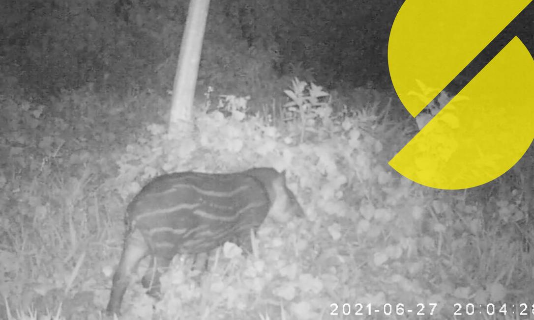 Pesquisadores gravam imagem de filhote de anta nascido na Reserva Ecológica de Guapiaçu Foto: Reprodução