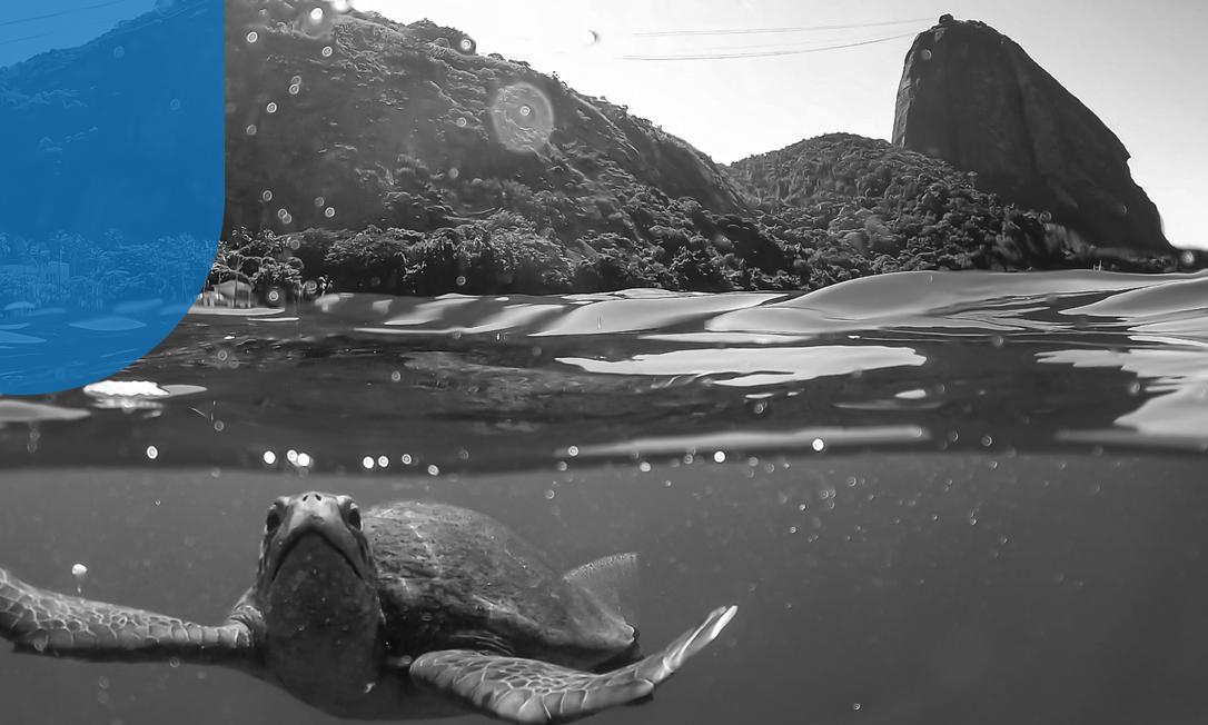 Tartaruga verde flagrada na Praia Vermelha Foto: Divulgação / Caio Salles Projeto Verde Mar