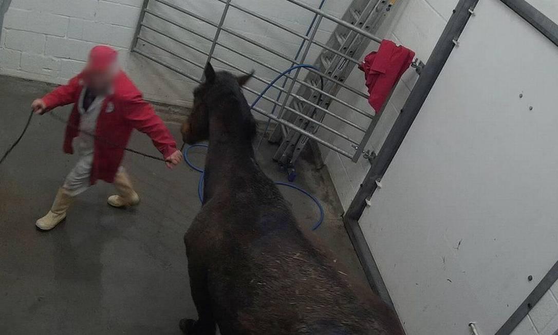 Câmera escondida flagra cavalo em matadouro no Reino Unido Foto: Animal Aid