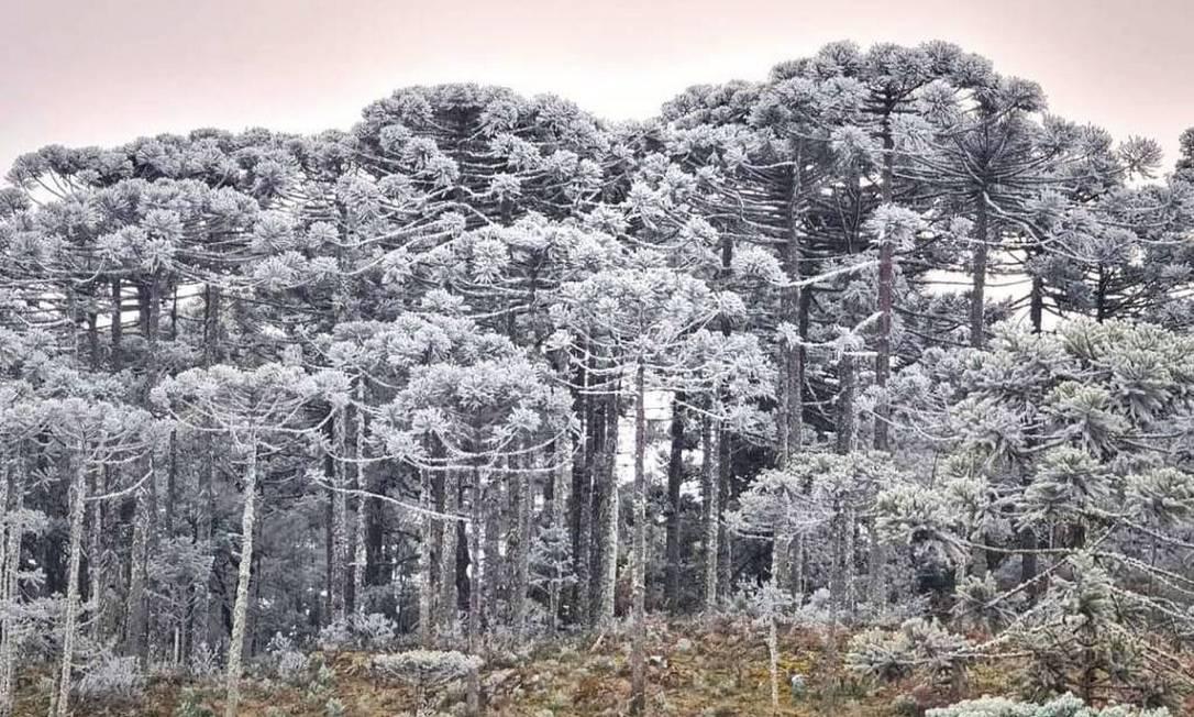 Neve e sincelo deixam mata de pinheiros brancos em São Joaquim Foto: Mycchel Legnaghi / São Joaquim Online