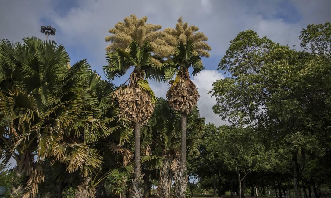 Floração das palmeiras Corypha umbraculifera, ou palma talipot, no Aterro do Flamengo. A palmeira trazida do Sri Lanka por Roberto Burle Marx floresce apenas uma vez na vida, cerca de cinquenta anos depois de plantada. Foto: Guito Moreto / Agência O Globo