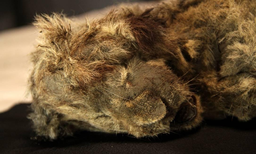 Encontrada na Sibéria, Sparta morreu há 28 mil anos e poderá ajudar cientistas em pesquisas sobre a evolução dos leões-das-cavernas Foto: Reprodução/Twitter/ Centre for Palaeogenetics (CPG)