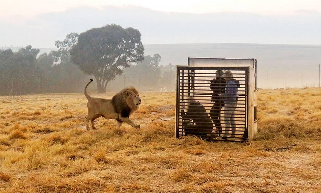 Leão se aproxima de visitantes enjaulados no GG Lion Santuary, na cidade de Harrismith, na África do Sul Foto: @ggconservation / Reprodução