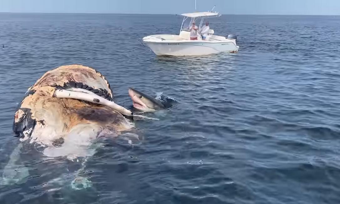 Tripulação de cruzeiro flagrou tubarão-branco se alimentando de carcaça de baleia na costa dos EUA Foto: Reprodução