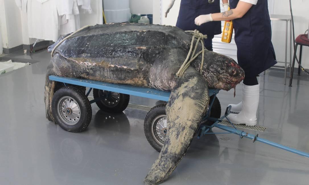 Tartaruga-gigante encontrada em praia de SC Foto: Divulgação/PMP-BS