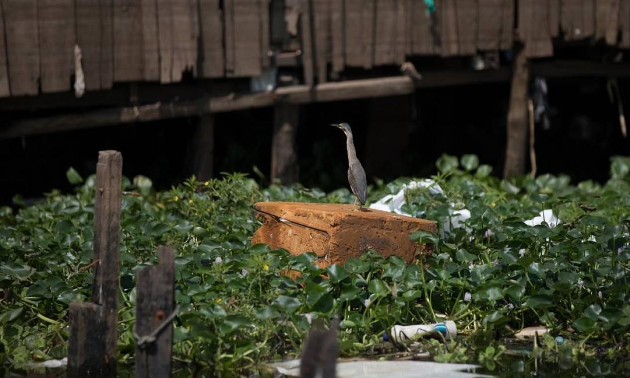 Ave descansa sobre um pedaco de espuma em meio ao igarapé do Educandos, na zona central de Manaus Foto: Bruno Kelly / Agência O Globo