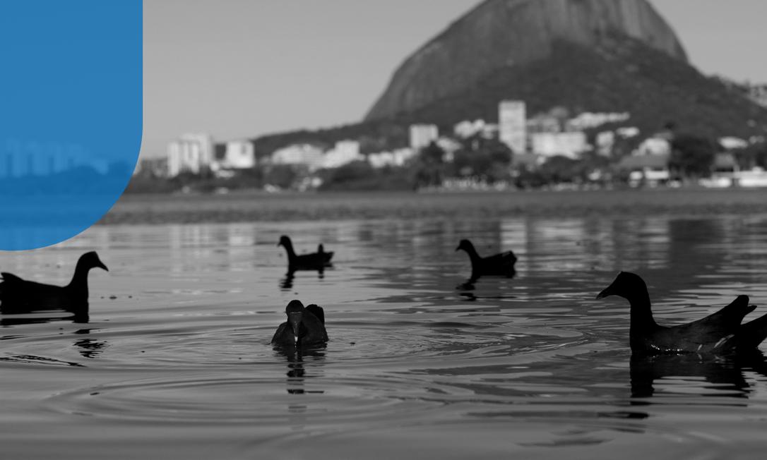 População de frangos d´água cresceu recentemente, na Lagoa Foto: Custódio Coimbra