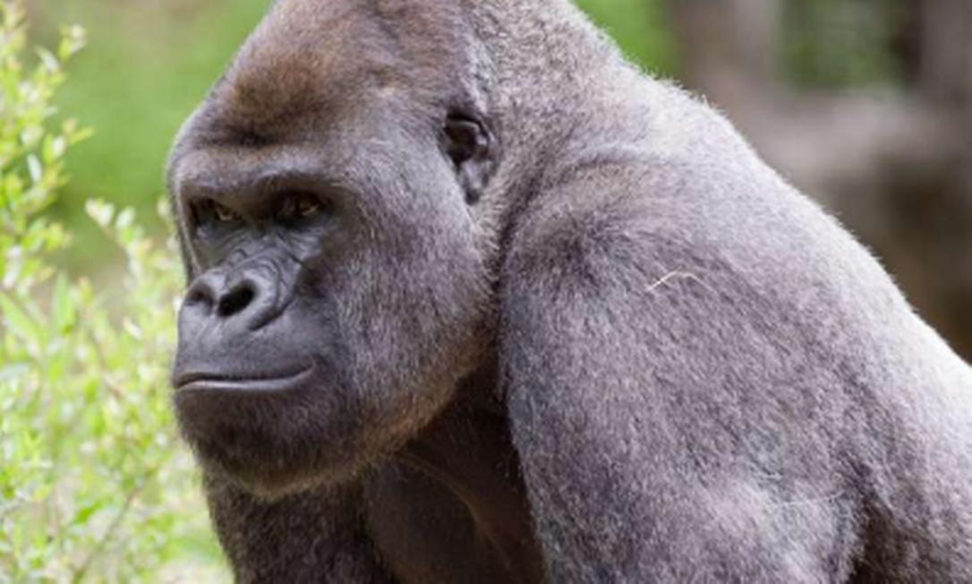 Gorilas testam positivo para Covid-19 no zoológico de Atlanta, nos EUA Foto: Reprodução/Zoo Atlanta