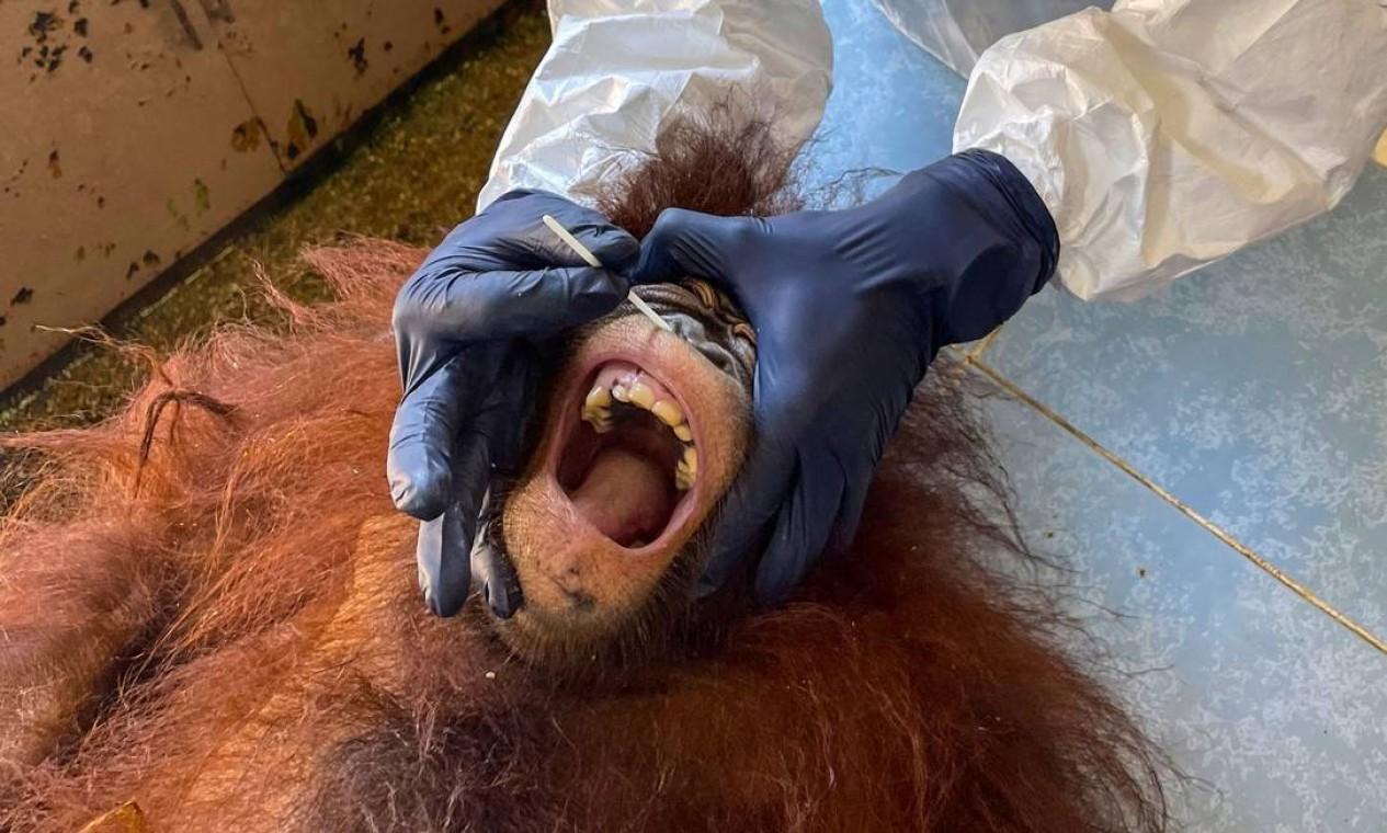 Veterinário coleta uma amostra de esfregaço de um orangotango para teste de Covid-19 no Centro de Reabilitação de Orangotango Sepilok em Sandakan, na Malásia ilha de Borneo Foto: HANDOUT / AFP